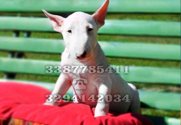 Prezzi Bull Terrier | il bull terrier miniature minibull